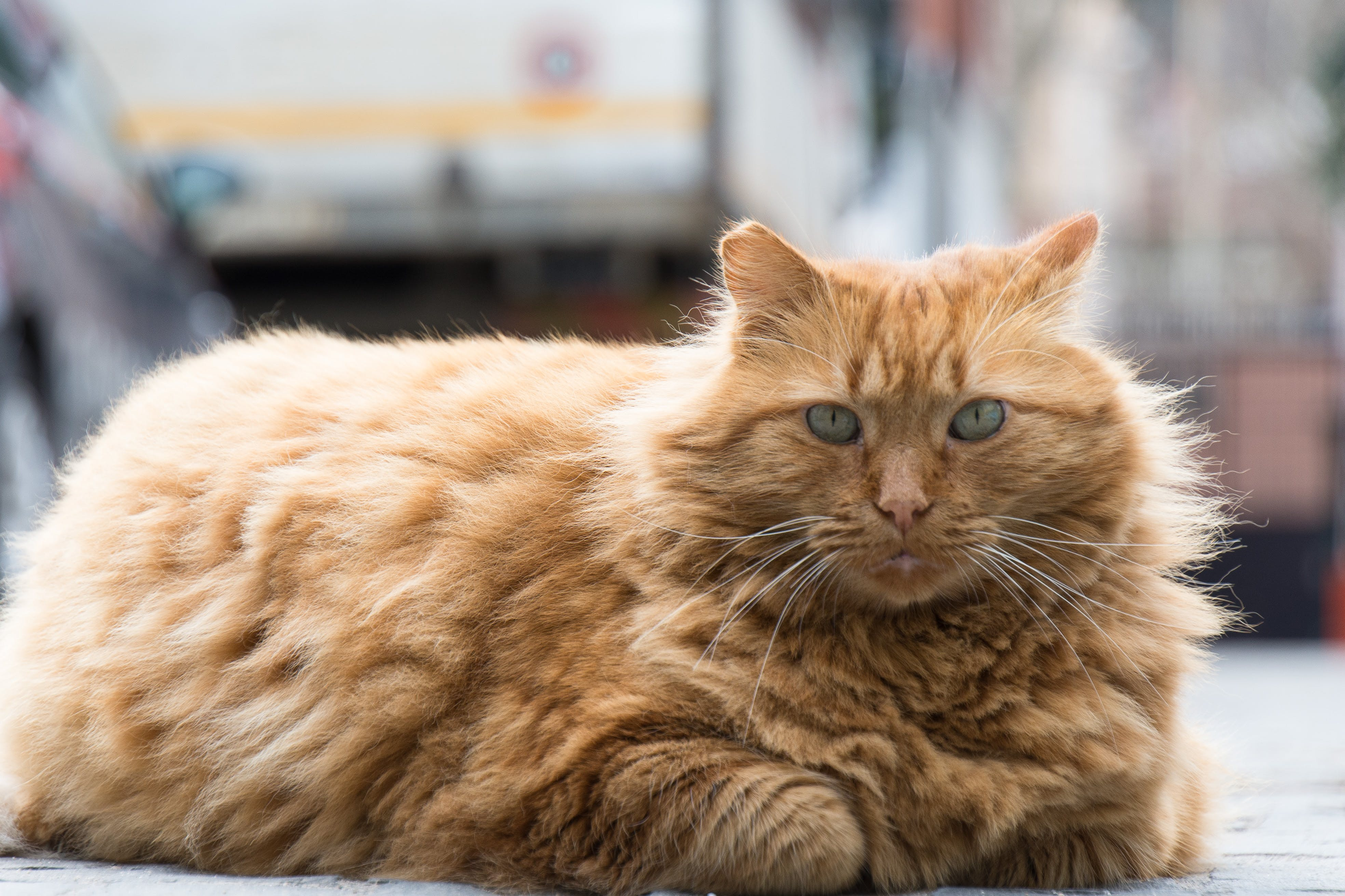 Free stock photo of animal, cat, feline, fluffy