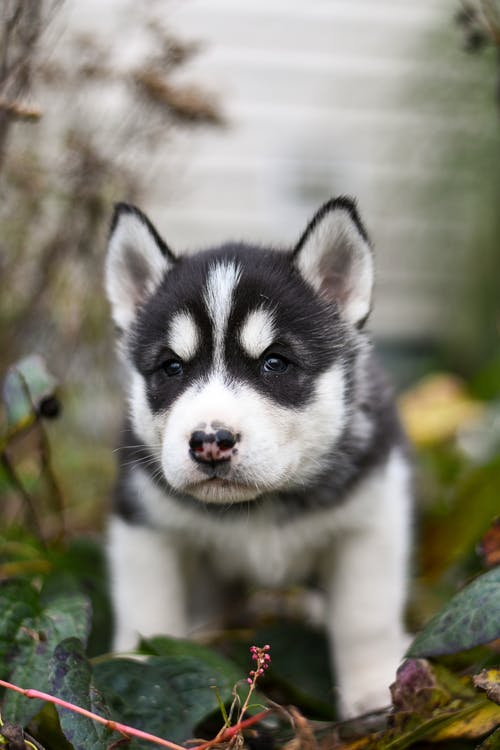 Portrait of a Black and White Siberian Husky Puppy