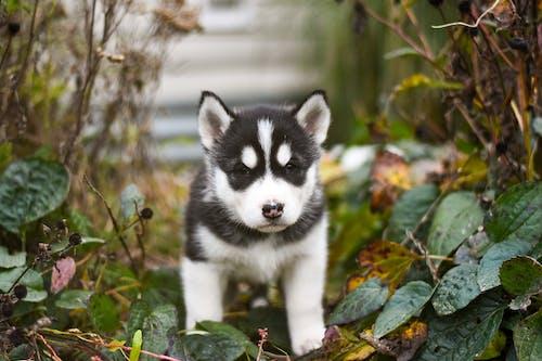 Black and White Siberian Husky Puppy Beside Plants