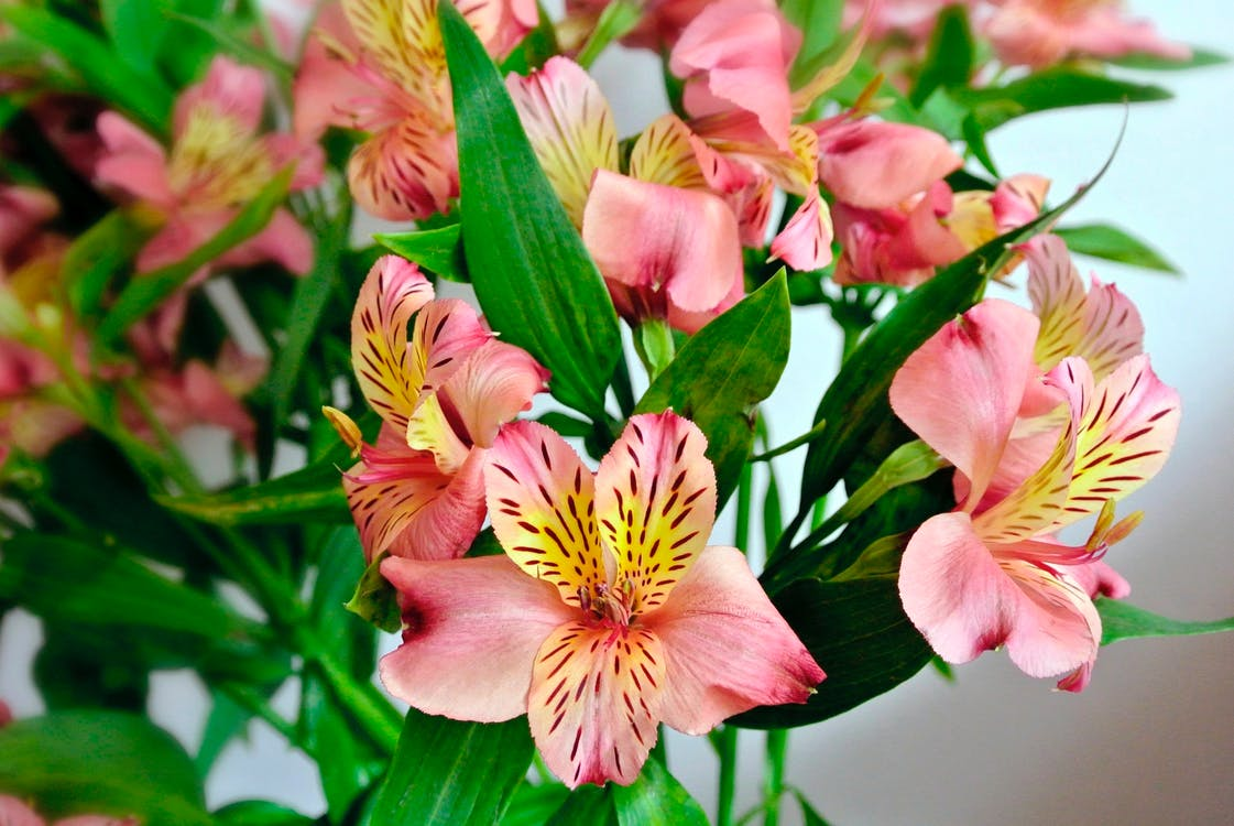 Free stock photo of flores, flower, lirios