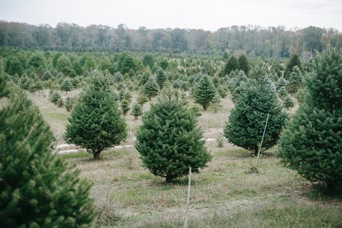 Tree farm with growing pine spruce and fir trees cultivating for Christmas holidays