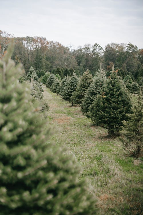 Coniferous trees growing in rows in farm