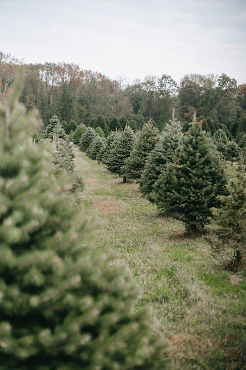 Coniferous trees growing in rows in farm