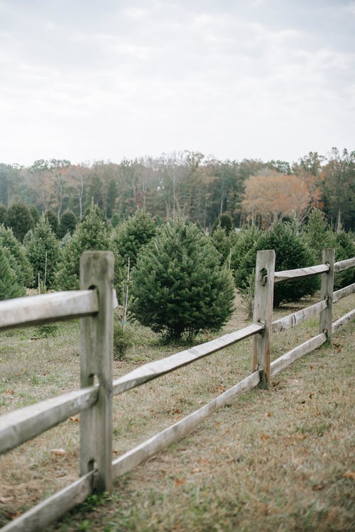 Wooden enclosure of fir trees with variety of spruces cultivating in farm for Christmas