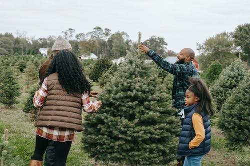 African American family making New Year preparation and choosing Christmas tree on farm with different spruces