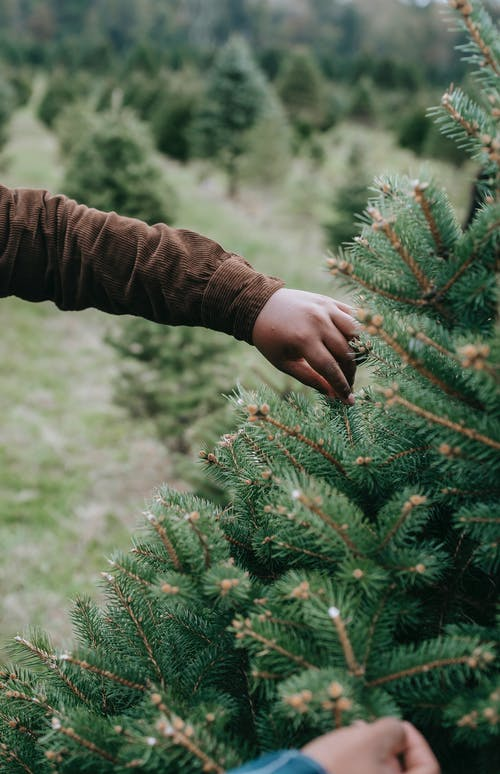 Crop anonymous African American males touching gently spruce branches with needles while choosing Christmas tree