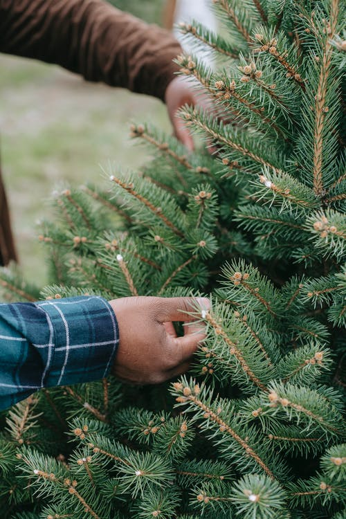 From above crop hands of anonymous African American males touching green branches of spruce while choosing Christmas tree
