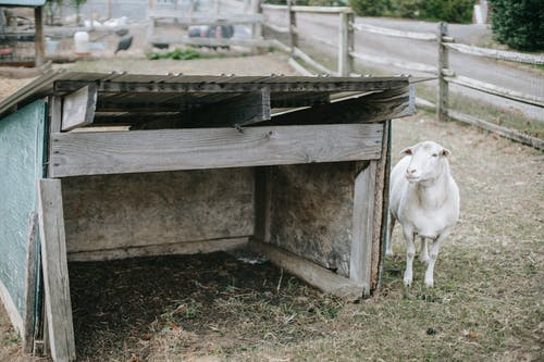 Small white goat near wooden construction on farm