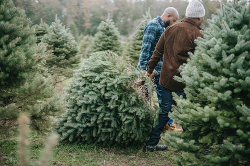 Side view of African American dad and teen son carrying heavy coniferous tree felled for Christmas celebration