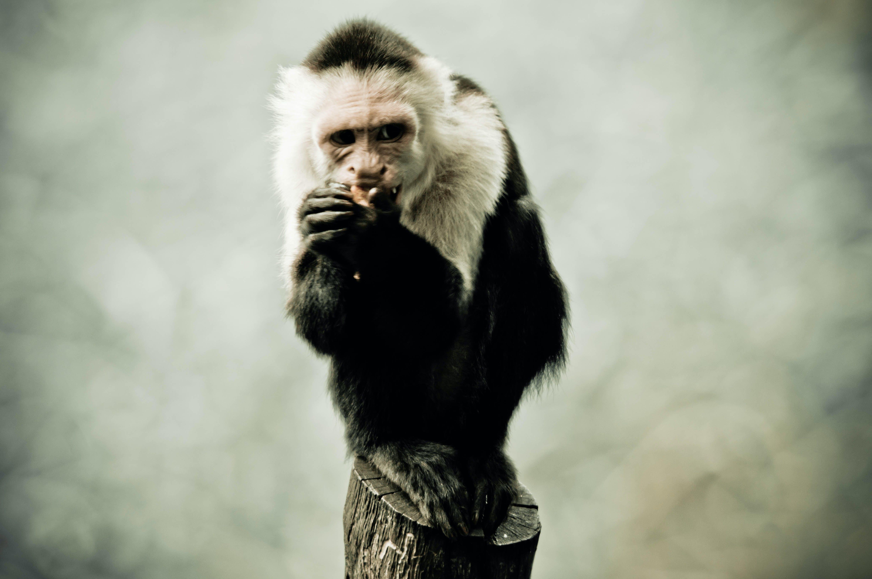 Free stock photo of animal, animal photography, ape, monkey