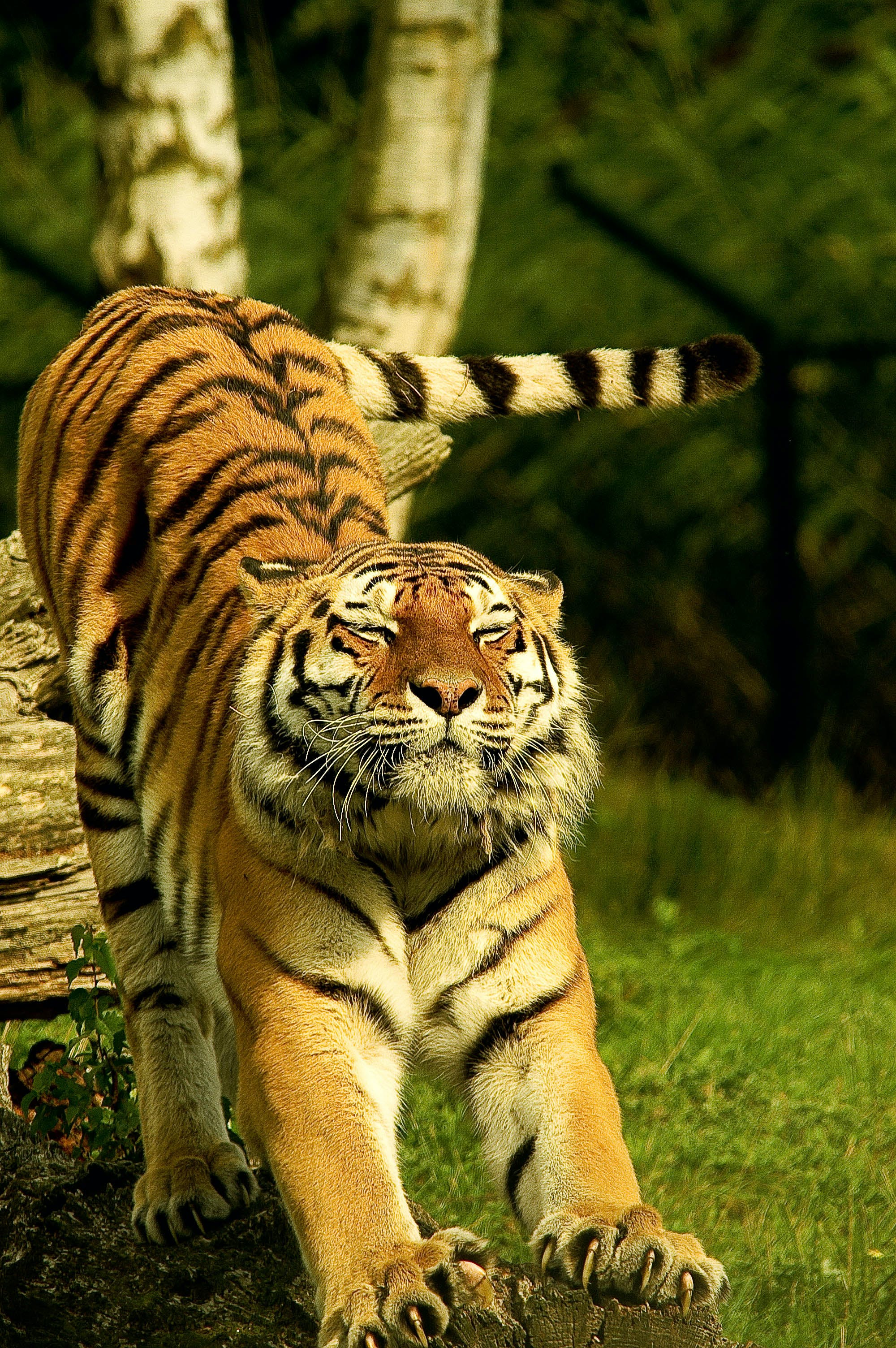 Tiger in Shallow Photo