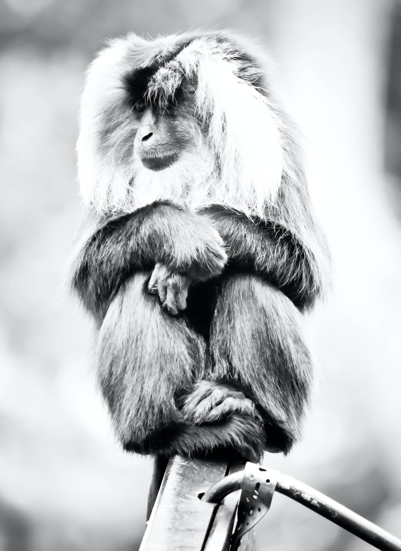 Free stock photo of animal, animal photography, animal portrait, ape