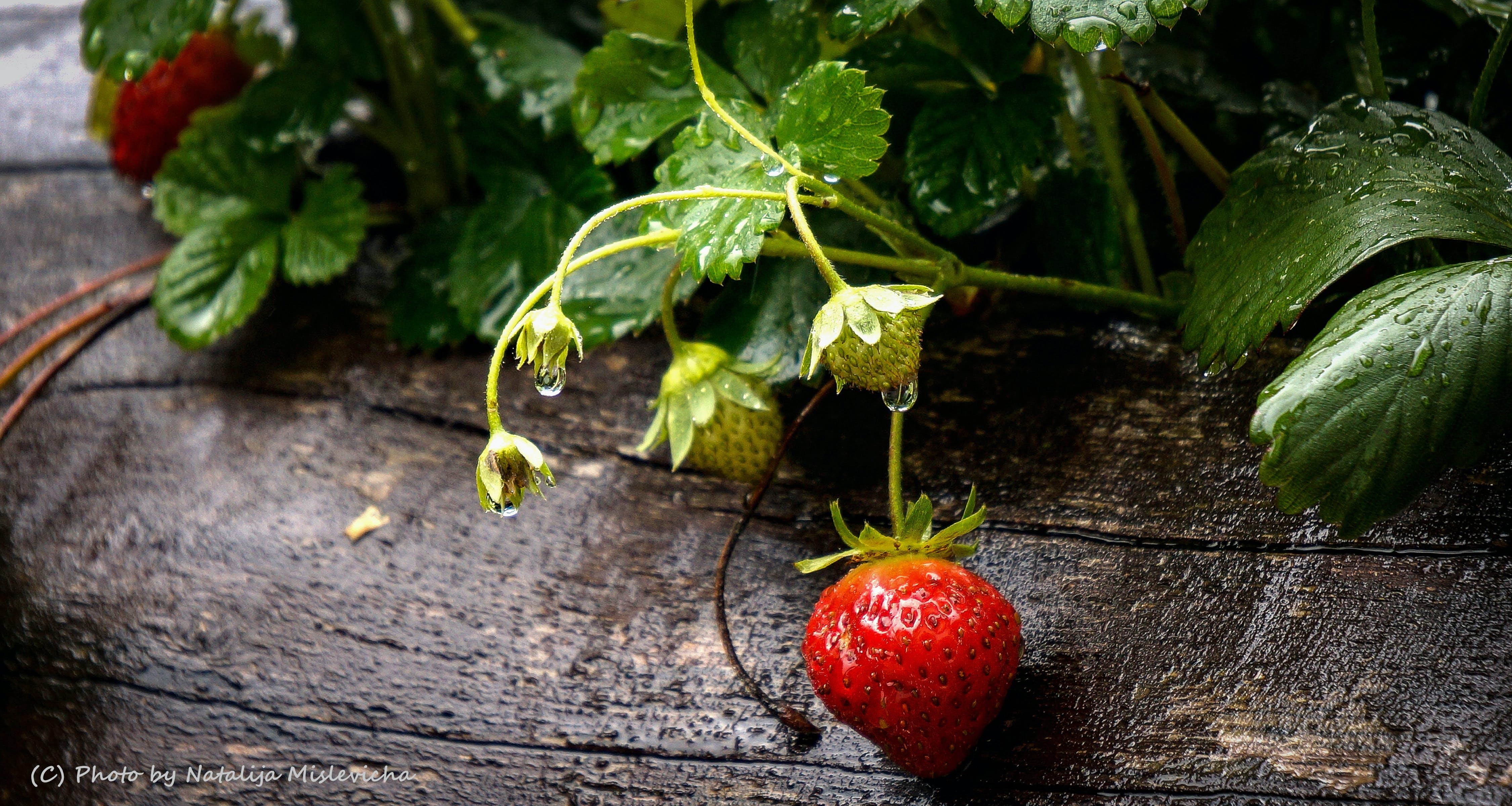 Free stock photo of after the rain, beeren, berries, erdbeeren