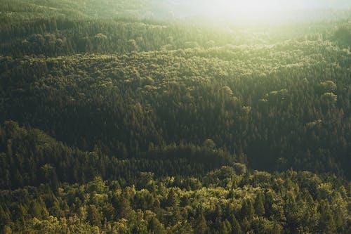 常緑樹, 日光, 木, 森の中の無料の写真素材