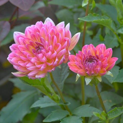 Imagine de stoc gratuită din roz crizantema