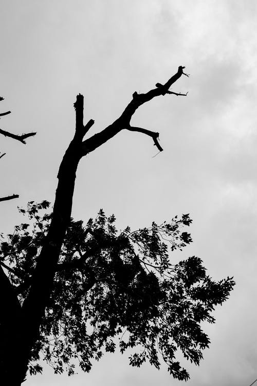 From below black and white of trees with branches with leaves growing in daytime under gray cloudy sky