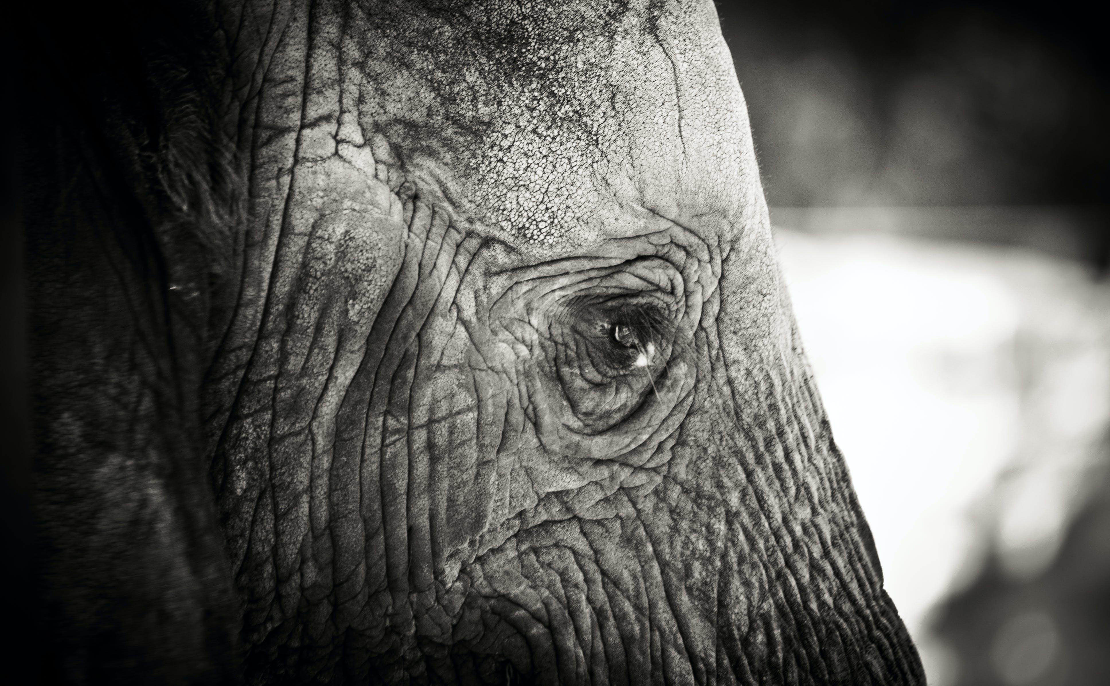 Free stock photo of animal, black and white, elephant, sad