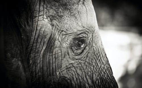 Free stock photo of animal, black and white, elephant, sad