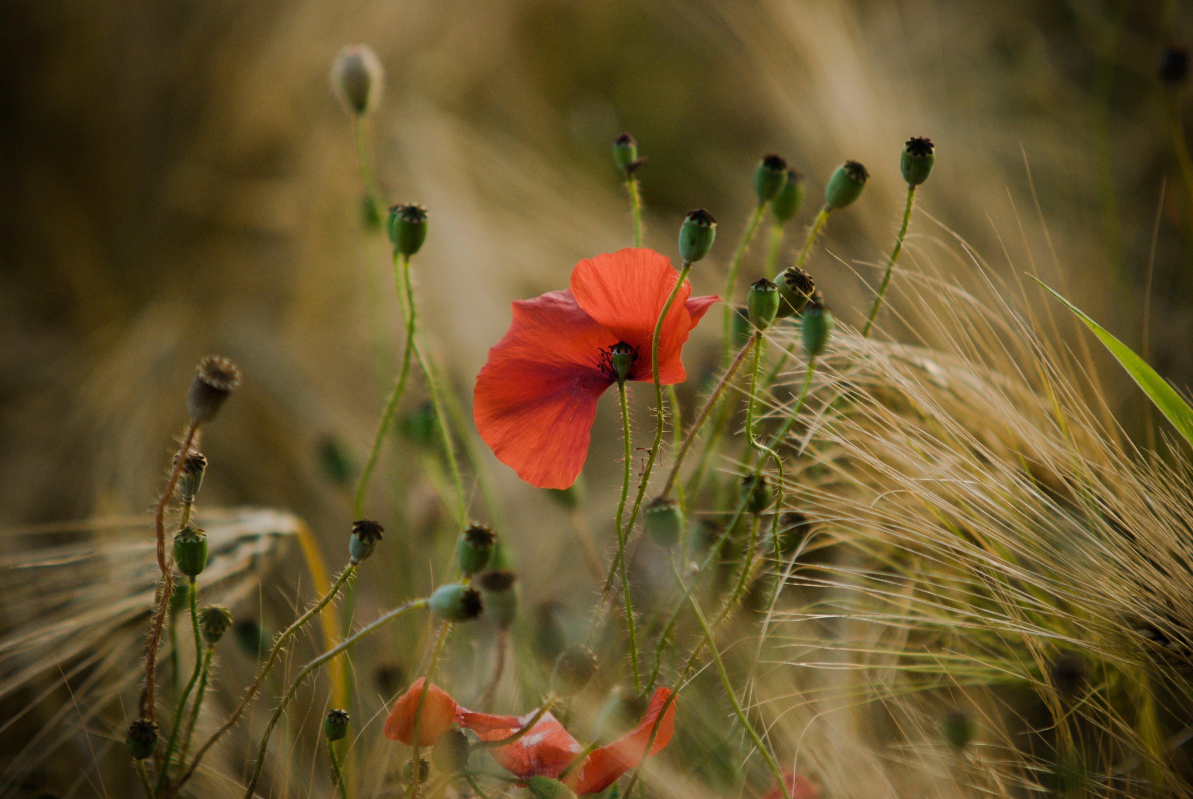 Free stock photo of field, flower, wheat, wheat field