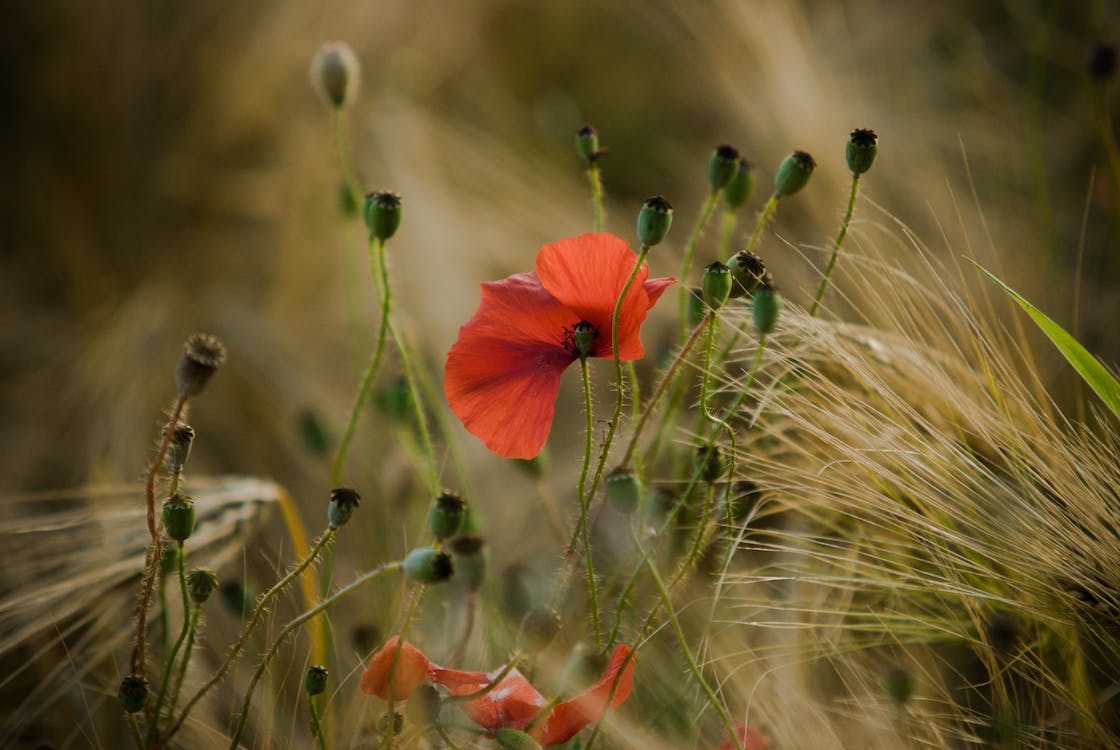 Free stock photo of field, flower, wheat
