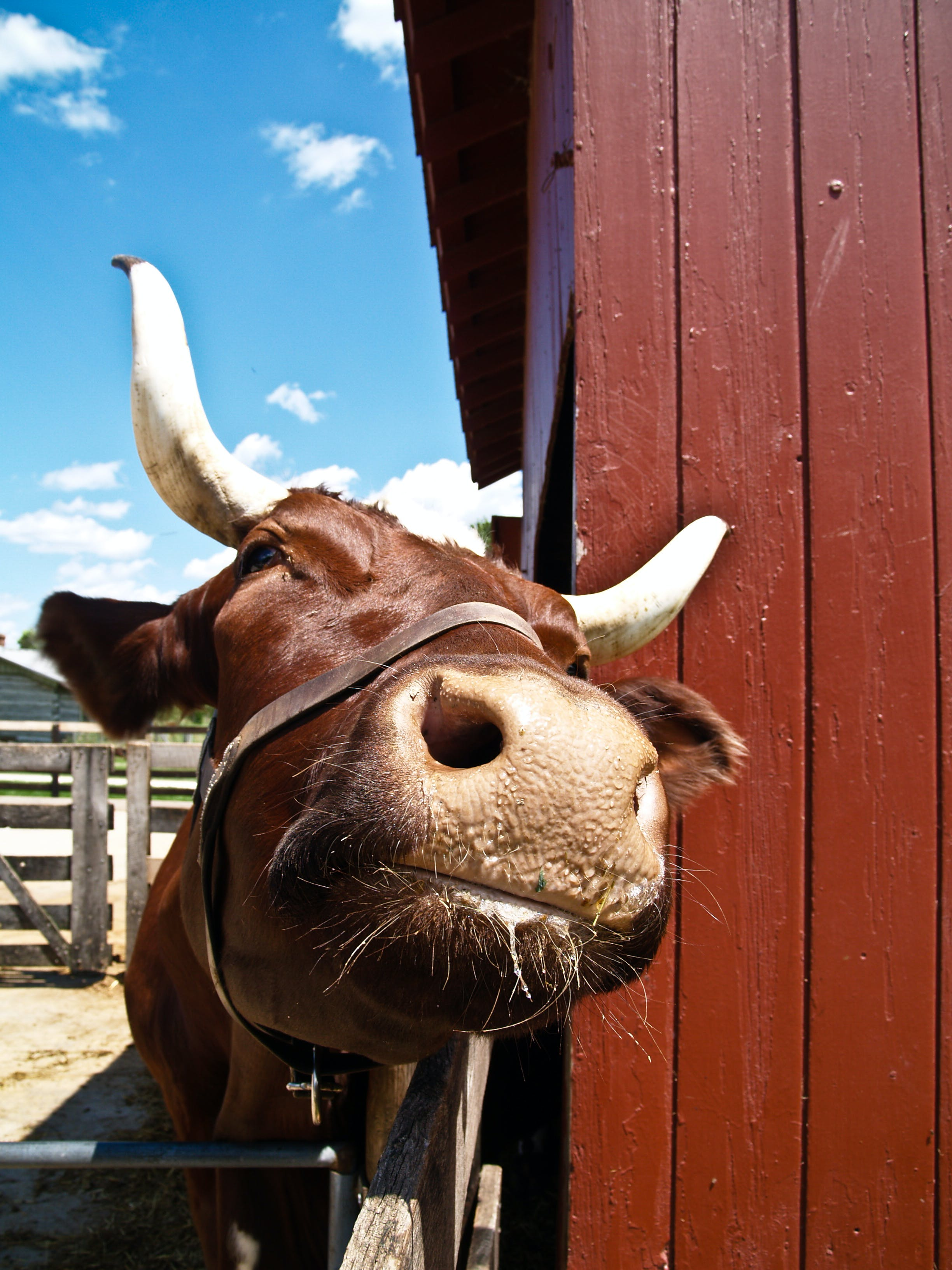 Free stock photo of blue sky, cow, horns, licking
