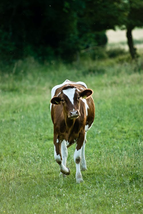 Free stock photo of cow, field