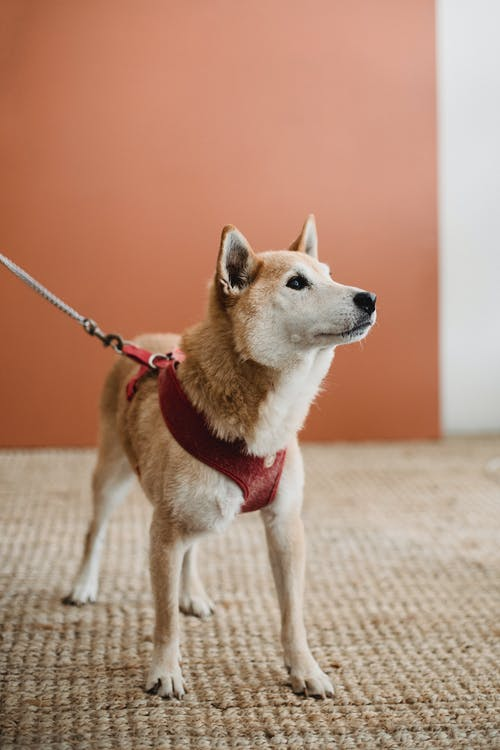 Graceful dog with harness at home