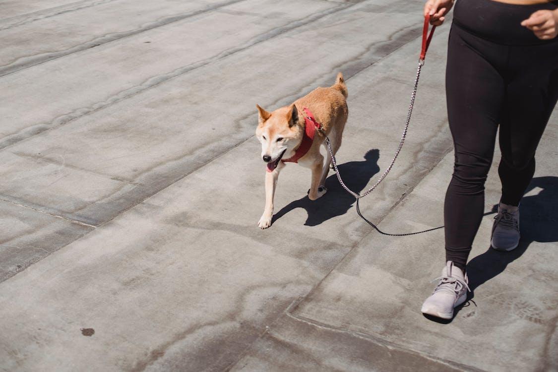 Woman walking with cute purebred Shiba inu