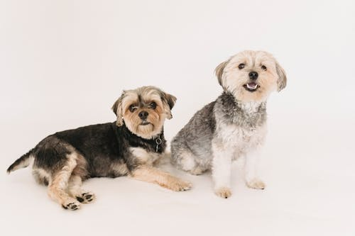 Funny adorable Yorkshire Terrier dogs sitting and lying on white background of studio