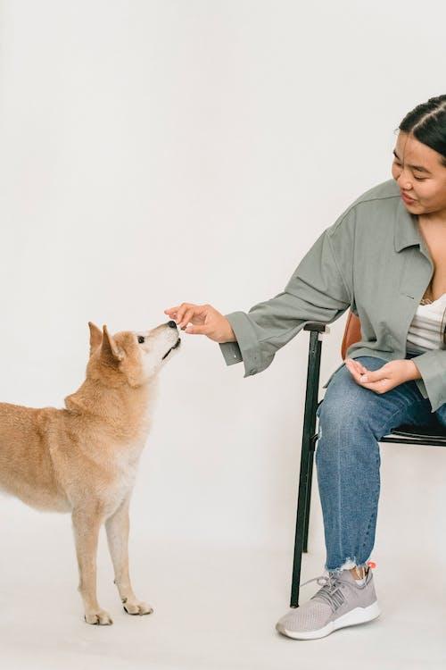 Jovem Mulher Asiática Alimentando Shiba Inu De Raça Pura E Engraçado
