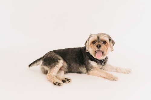 Cute fluffy Yorkshire Terrier lying on floor of studio