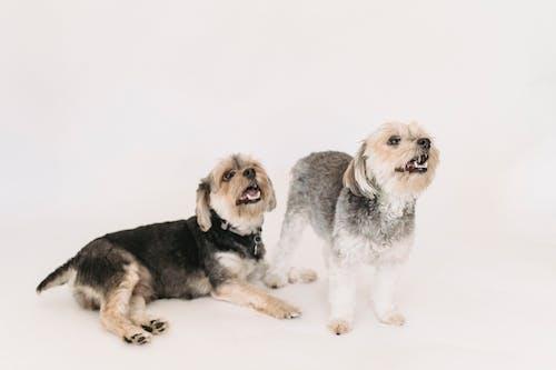 Stüdyoda Oynayan Küçük Safkan Yorkshire Terrier Köpek