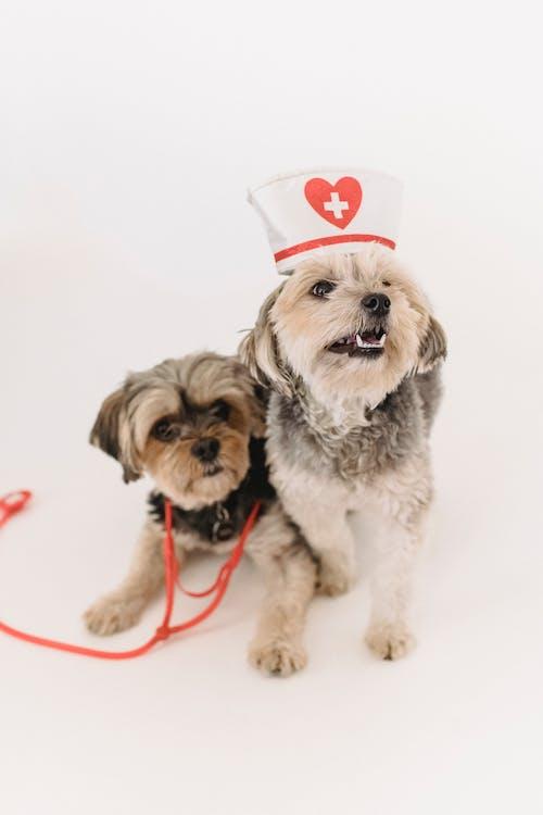Hemşire şapkası Ve Stetoskop Ile Küçük Komik Yorkshire Terrier Köpekleri