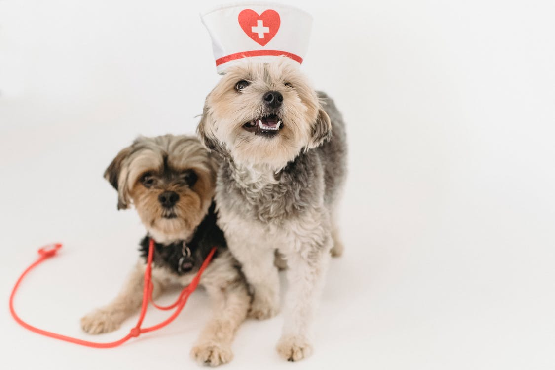 Adorable fluffy purebred dogs with medical equipment playing on white background of studio