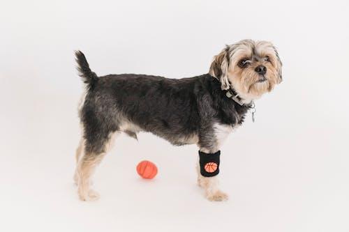 Topla Oynamayı Kabarık Namlu Ile Sevimli Komik Yorkshire Terrier