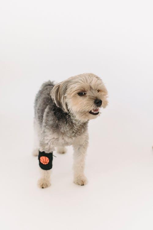 Safkan Sadık Yorkshire Terrier Stüdyoda Ayakta