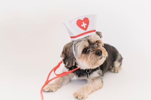 Purebred funny adorable puppy in nurse cap with  stethoscope lying on floor on white background of studio