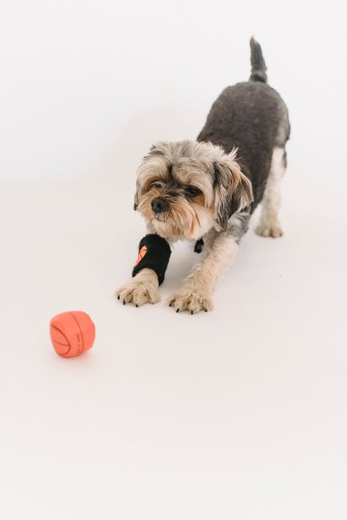 From above of obedient purebred Yorkshire Terrier with black sweatband playing with small ball on white floor