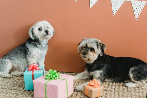 Calm obedient Yorkshire Terriers lying on carpet near colorful gift boxes while resting at home with festive decorations