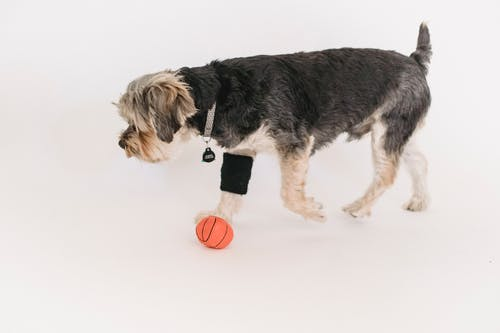 Calm Yorkshire Terrier playing with ball in studio
