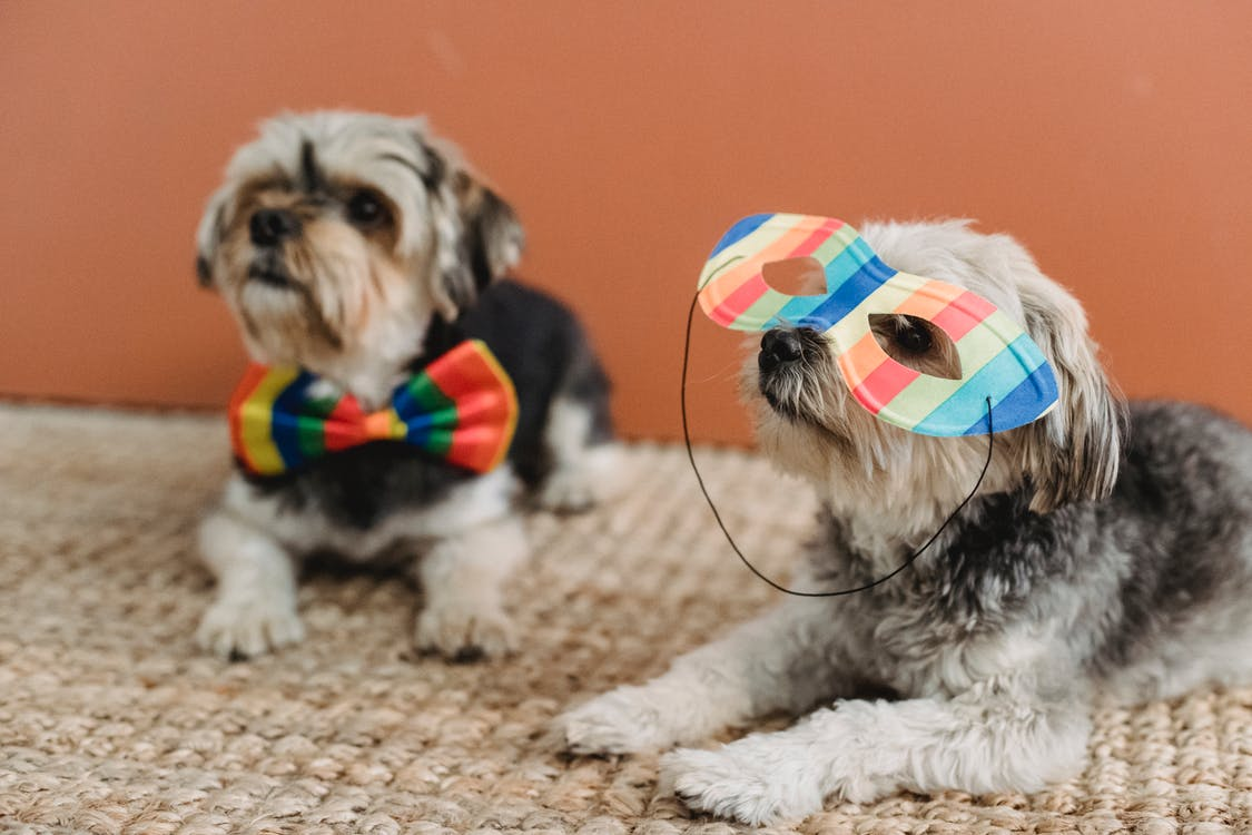 Small Yorkshire Terriers with festive mask and bow tie lying on floor with carpet against brown background