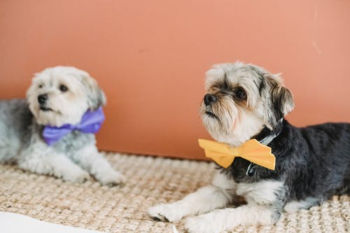 Calm dogs in festive bow ties