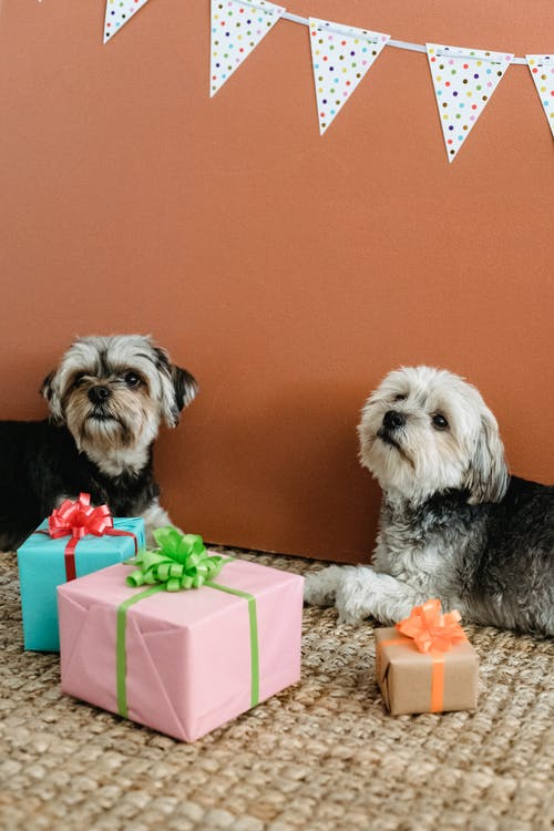 Purebred Yorkshire Terriers lying on carpet with  various colorful gift boxes in room with festive decorations