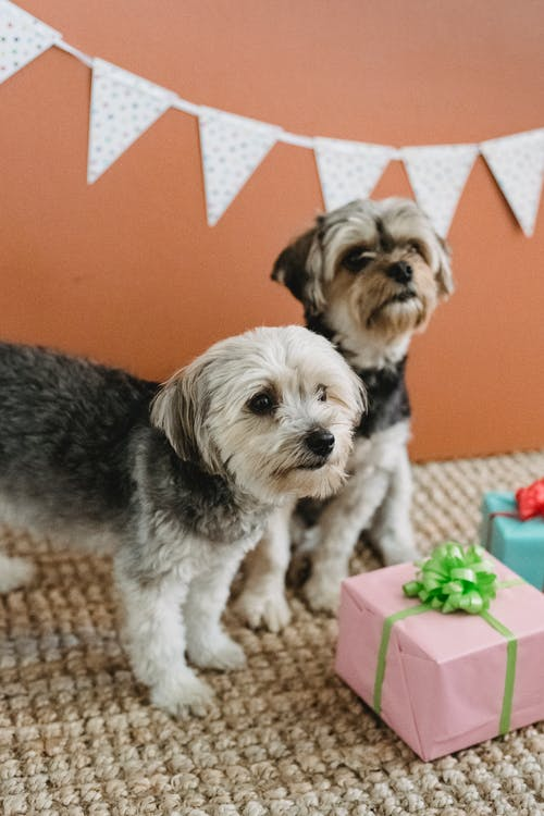 From above of calm purebred Yorkshire Terrier resting in room with festive interior and gift boxes and looking away against brown background