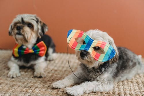 Obedient purebred Yorkshire Terriers in multicolored festive accessories lying on carpet against brown background in light room