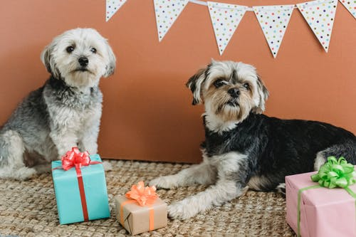 Attentive purebred Yorkshire Terriers resting in festive room