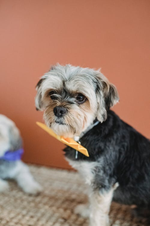 Adorable small dog in bow tie