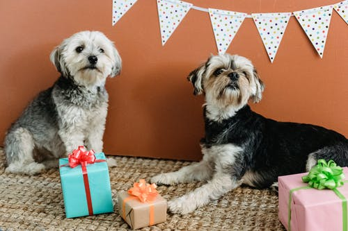 Purebred domestic Yorkshire Terriers lying on carpet with various presents in boxes and curiously looking away against brown background