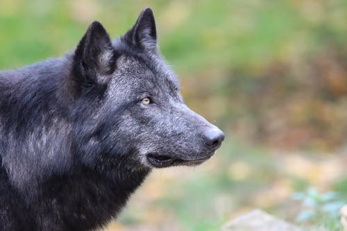 Black Wolf on Green Grass