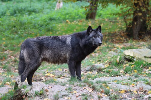 Black Wolf Walking on Green Grass